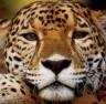 jaguard34